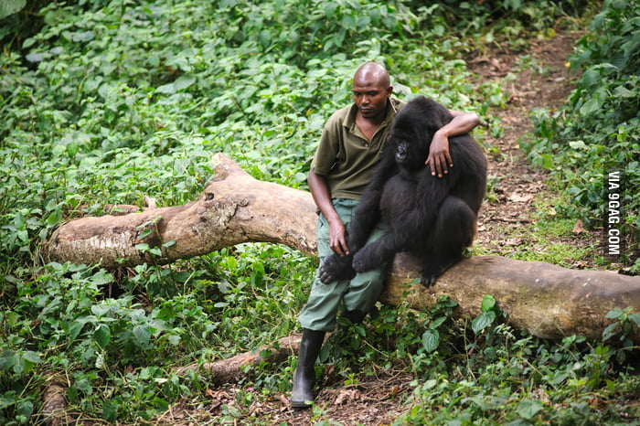 An orphaned gorilla and its warden.