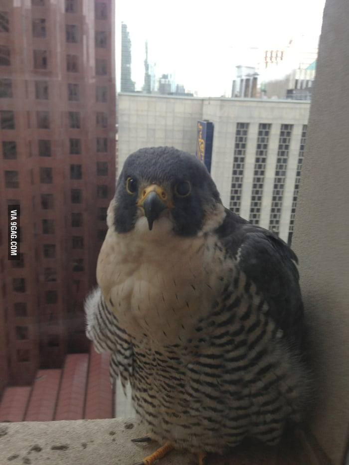 This Peregrine Falcon looks smart and cute.