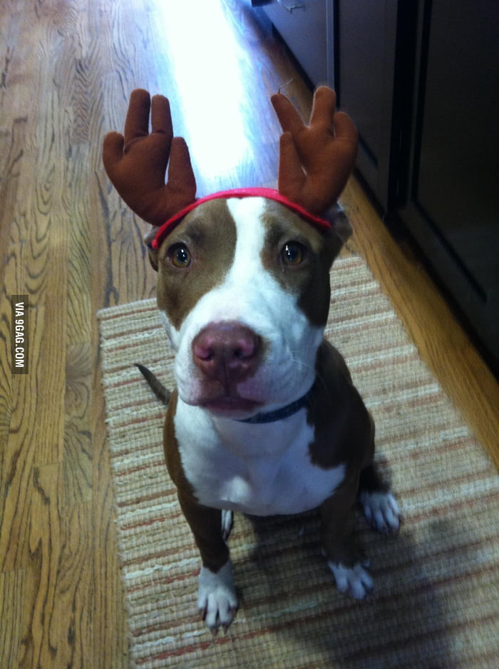 Reindeer puppy is ready for Christmas.