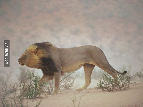 The lion must feel fabulous.