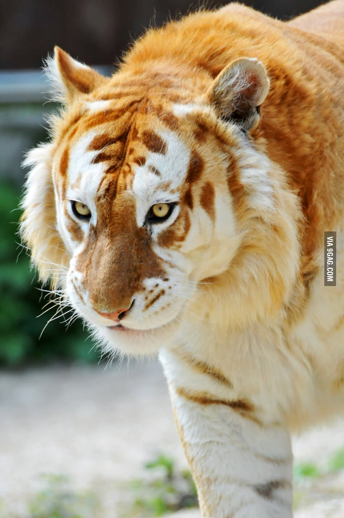 This is a rare Golden Tiger.
