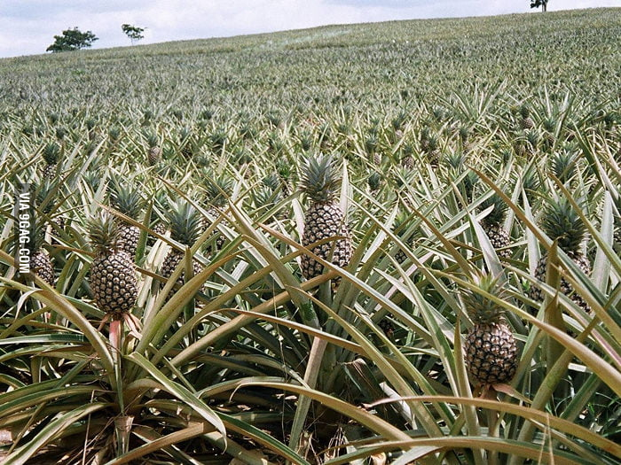 This is how pineapples grow.