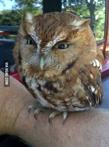 This little owl has a pretty big head.
