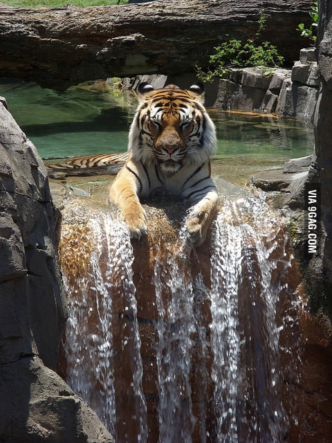 Tiger enjoying a waterfall.