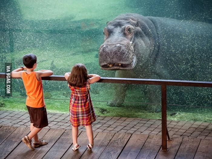 A hippo underwater.