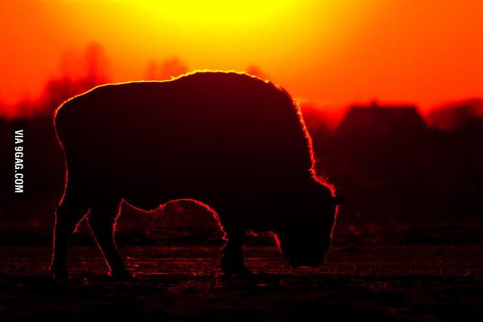 Bison at dusk.