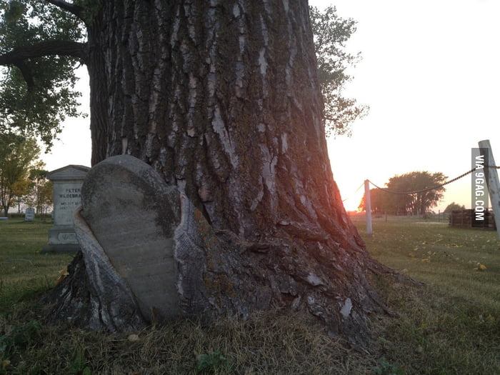 Gravestone being swallowed by a tree.