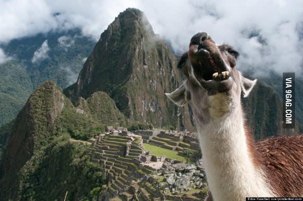Best Photobomb Pictures Best Llama Photobomb Ever