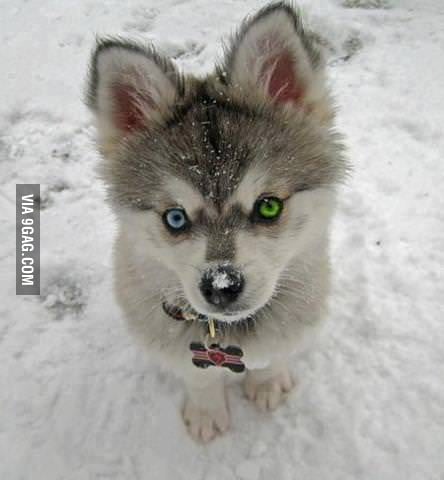 Tiny Husky