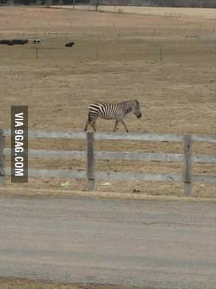 Zebra walking on the fence
