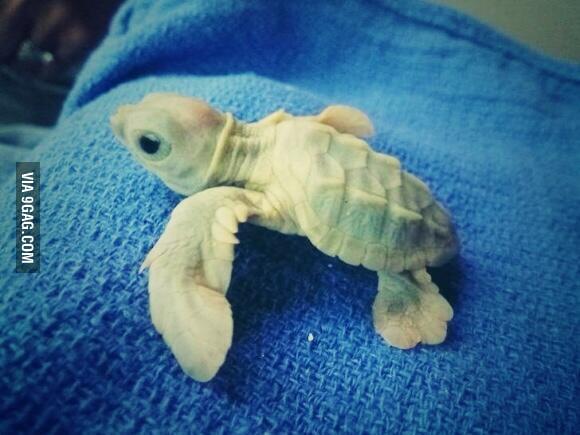 Baby Albino Turtle - 9...