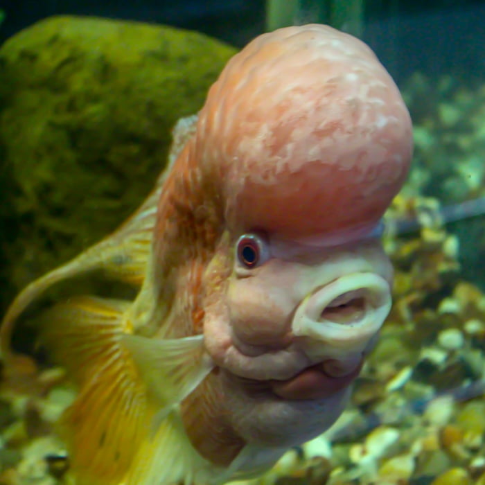 this fish looks like it want to make america great again 9gag