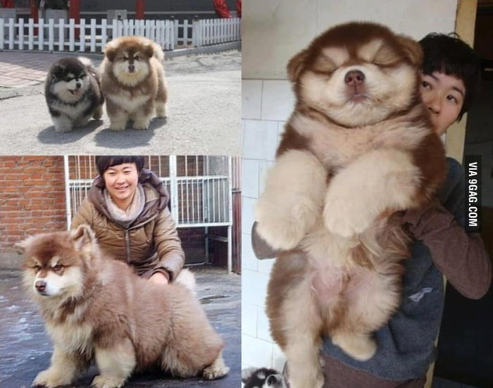 Look at this picture of a massive Chow Chow/ Siberian Husky mix!