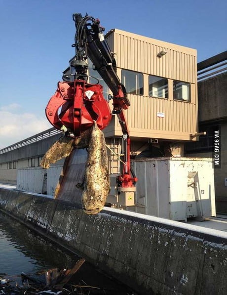 Removing a 7.4 foot, 200 pound catfish that had blocked an inlet to a hydroelectric dam on the river Danube in Austria
