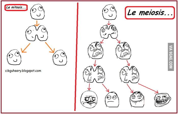 Meiosis Vs Mitosis Funny on Mitosis Versus Meiosis Worksheet Answers