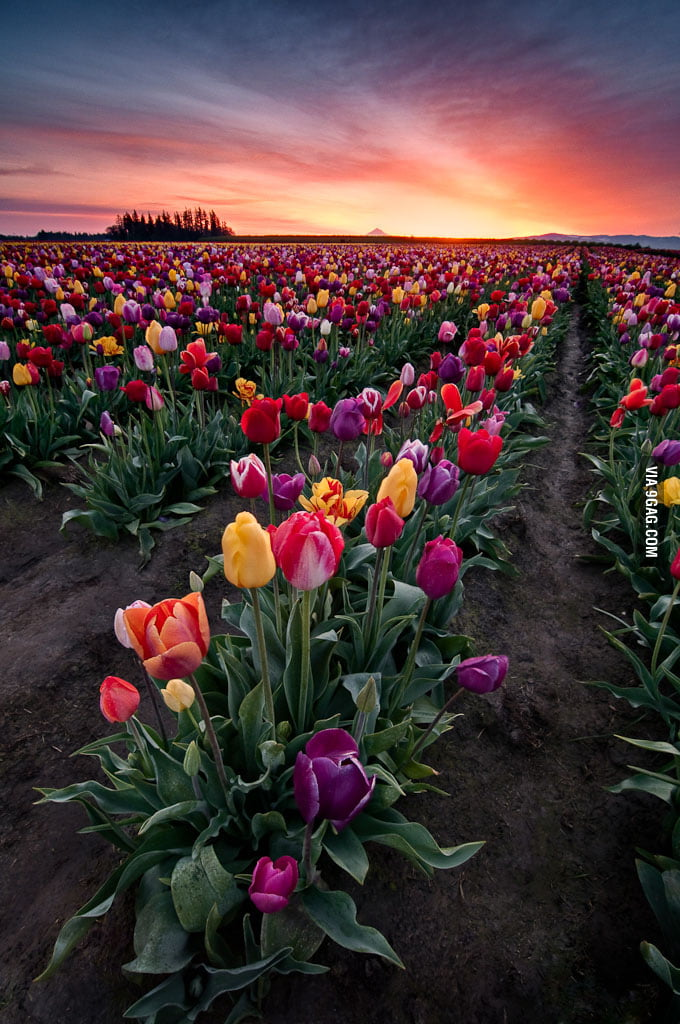 Tulip time in the Netherlands!