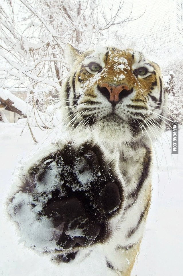 Tiger high five