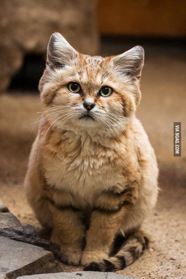 viking cat breed