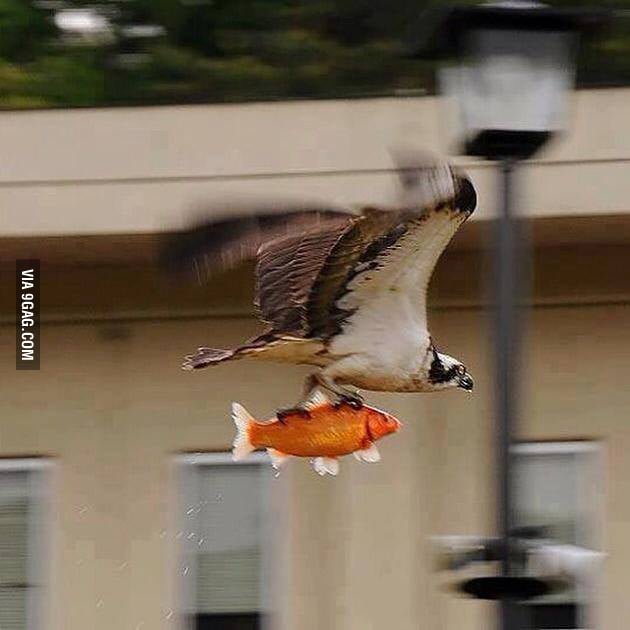 Respect to this bird for saving this fish from drowning for Can fish drown