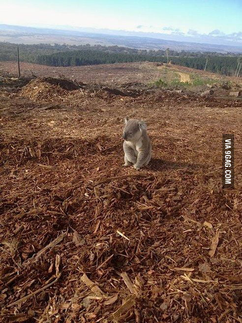Confused koala discovers his home has been cut down.