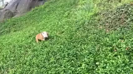 Dog Learned To Roll Down A Hill