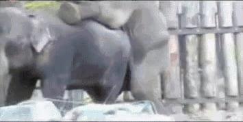 kak-konchayut-sloni