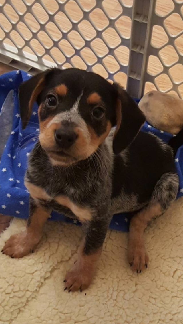 Just got approved to bring this little guy home today! Say hi to Bear! Beagle/blue heeler mix.