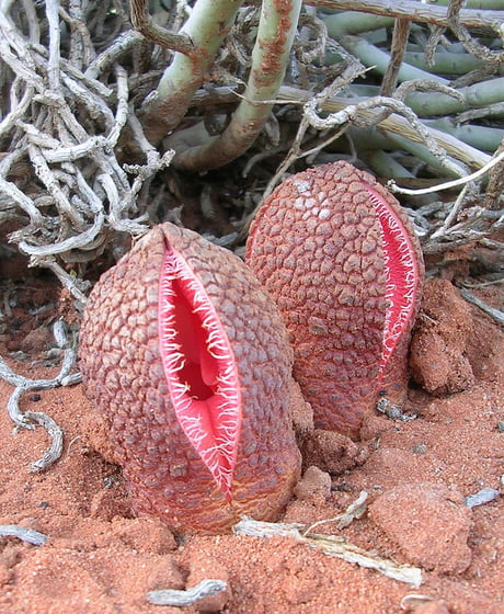 This charming little flower trap is known as Hydnora africana. It's known to smell just like poop in order to attract dung beetles.