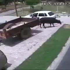 How to steal a bull