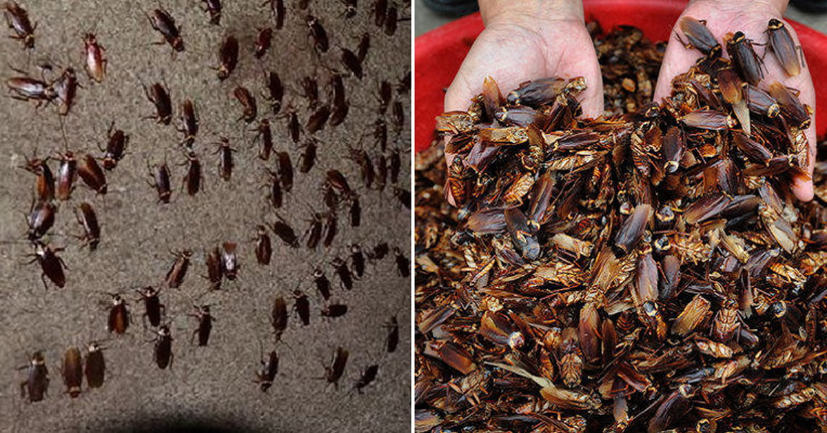 This Farm Breeds 300m American Cockroaches To Consume Kitchen Waste