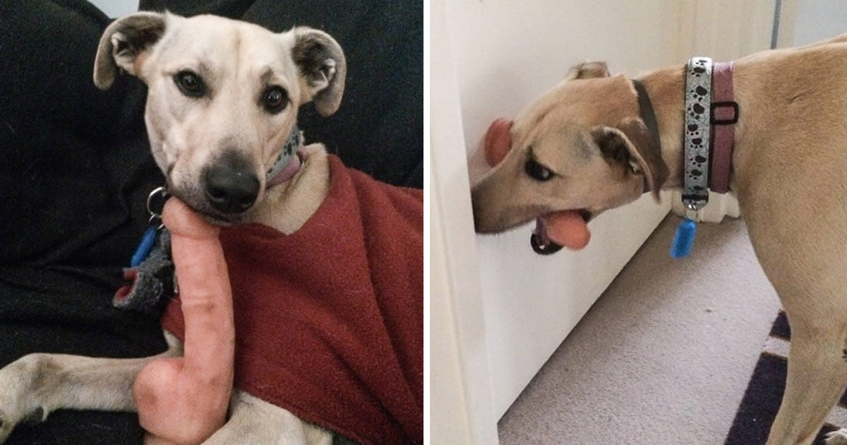 Dog Found Huge Dildo In Owner's Bedroom And It Is His Favourite Toy Now