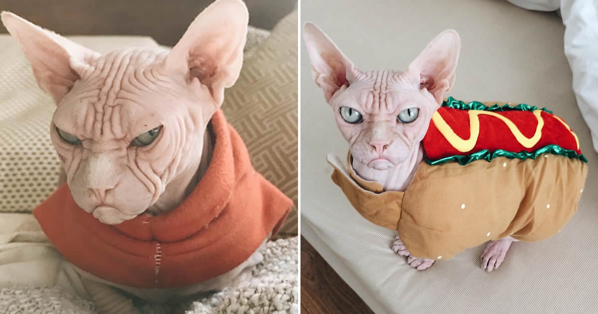 Meet Loki: The World's Grumpiest Sphynx Cat