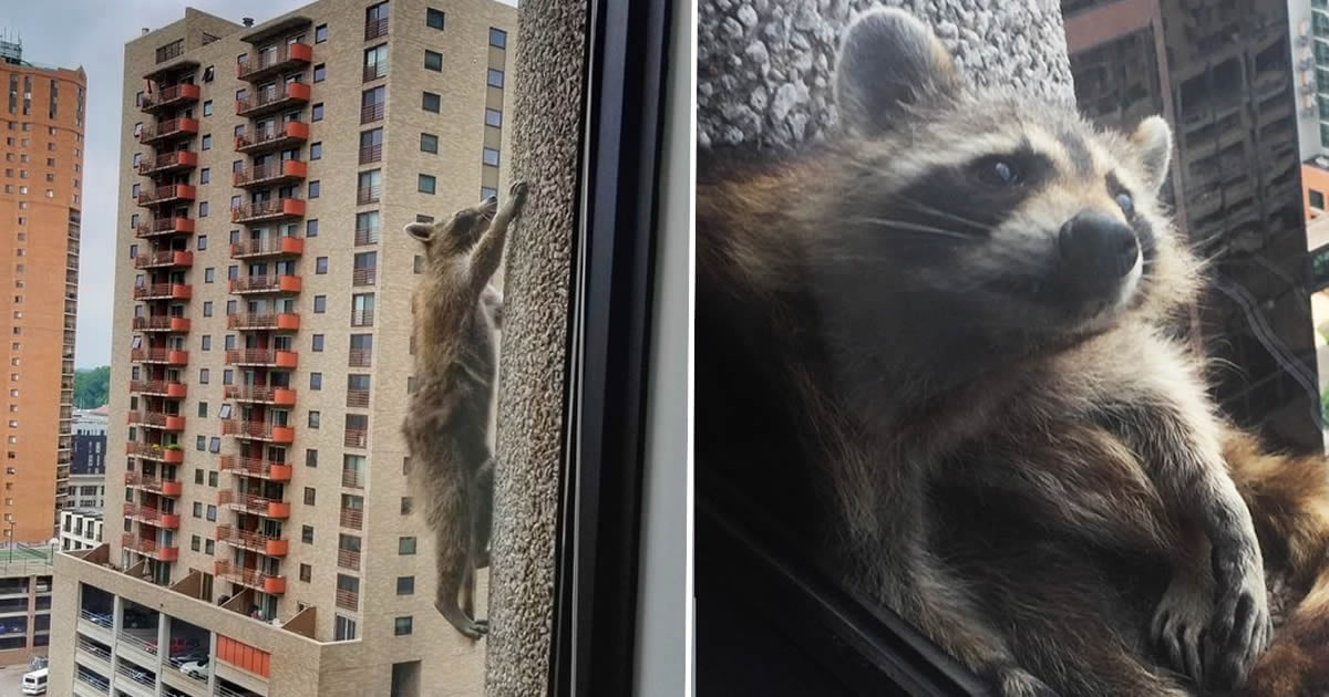 Raccoon Scales A Skyscraper All The Way To The Top And Everyone Can't Look Away
