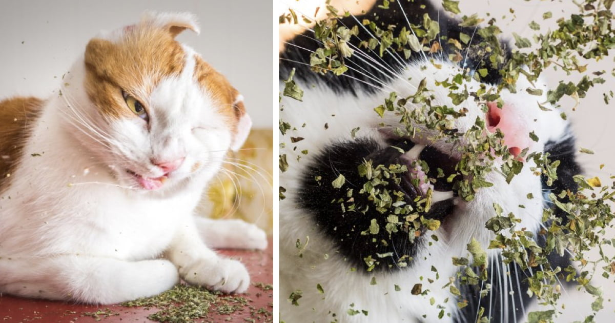 Cats High On Catnip Moments Captured In These Glorious Photos