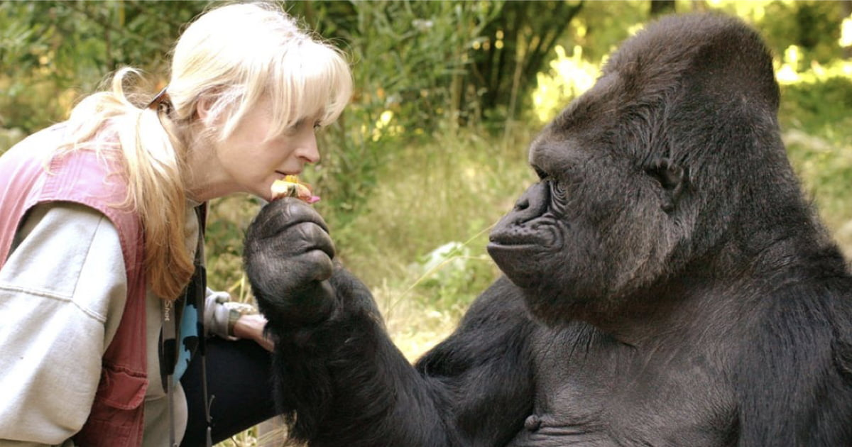 Koko The Gorilla Who Mastered Sign Language And Loved Cats, Has Died
