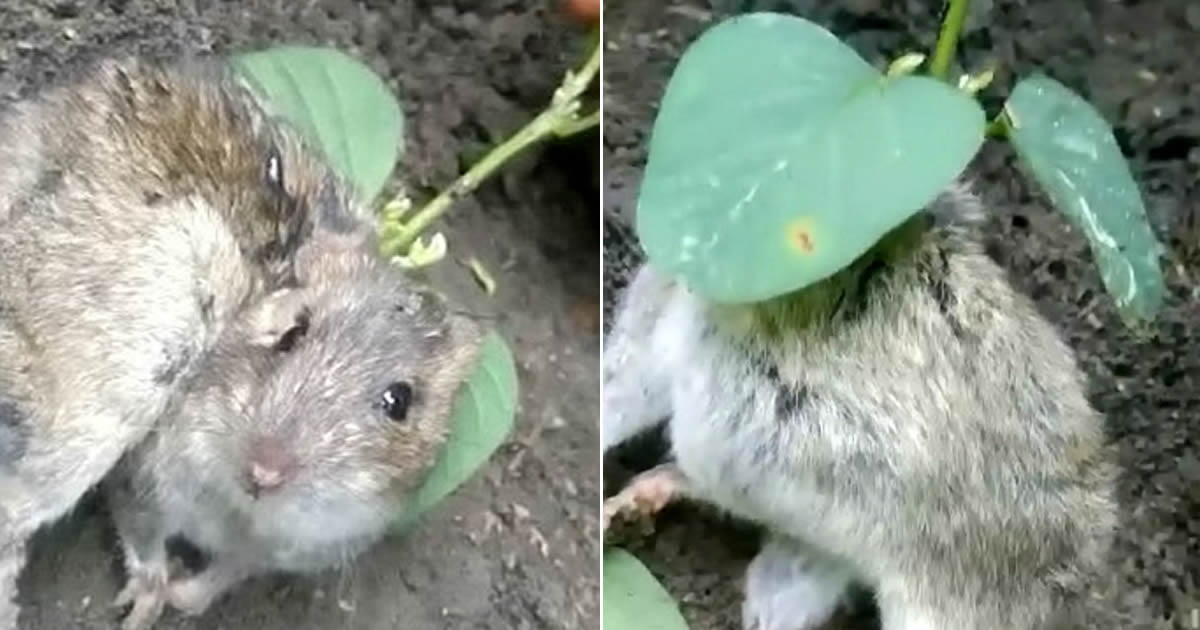 Farmer Found A Rat With Soybean Plant Growing Out Of Its Neck