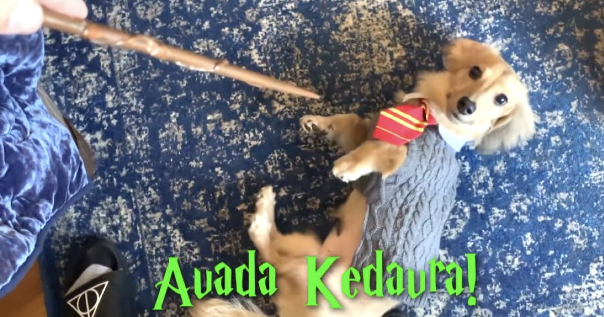 Watch Remus The Dog Do Tricks In Response To Harry Potter Spells