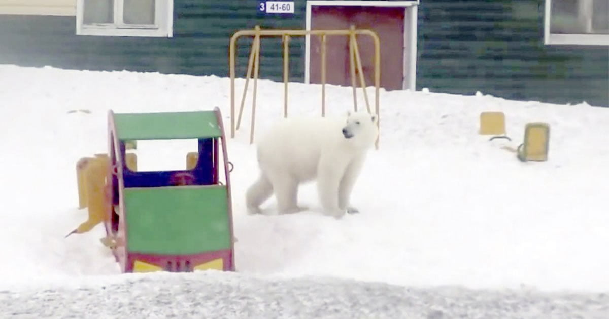State Of Emergency Declared After 52+ Polar Bears Invade Russian Town