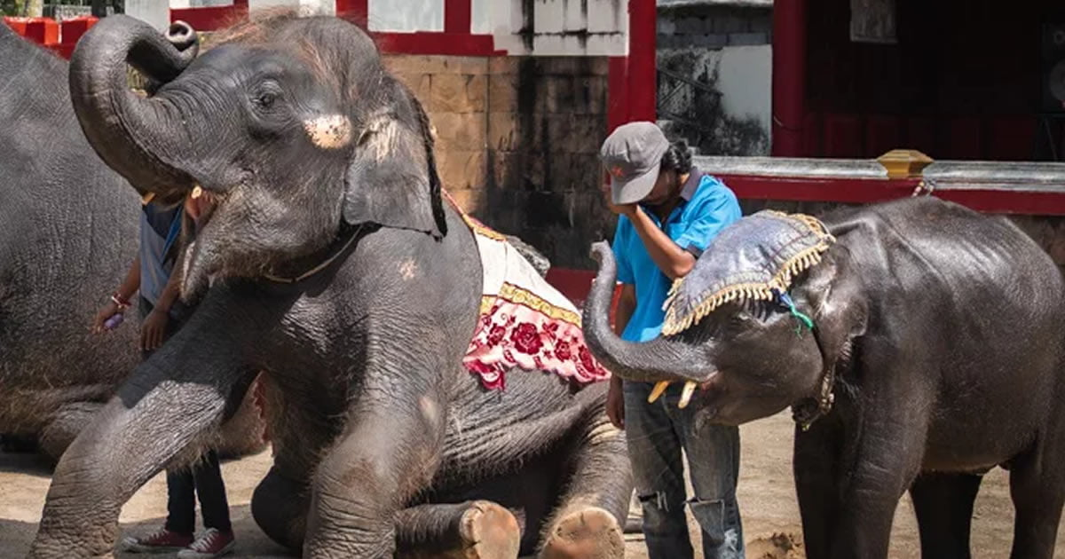 Baby Dumbo Dies At Phuket Zoo Days After Being Forced to Perform For Tourists