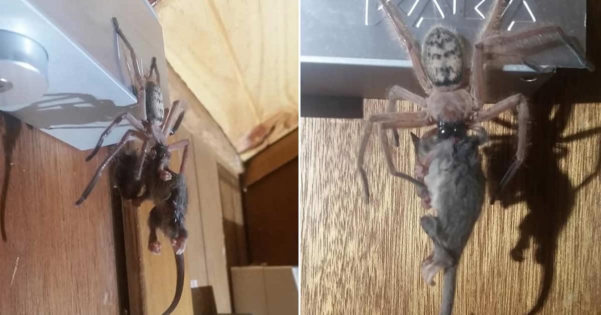Couple Find Huntsman Spider Devouring An Entire Pygmy Possum