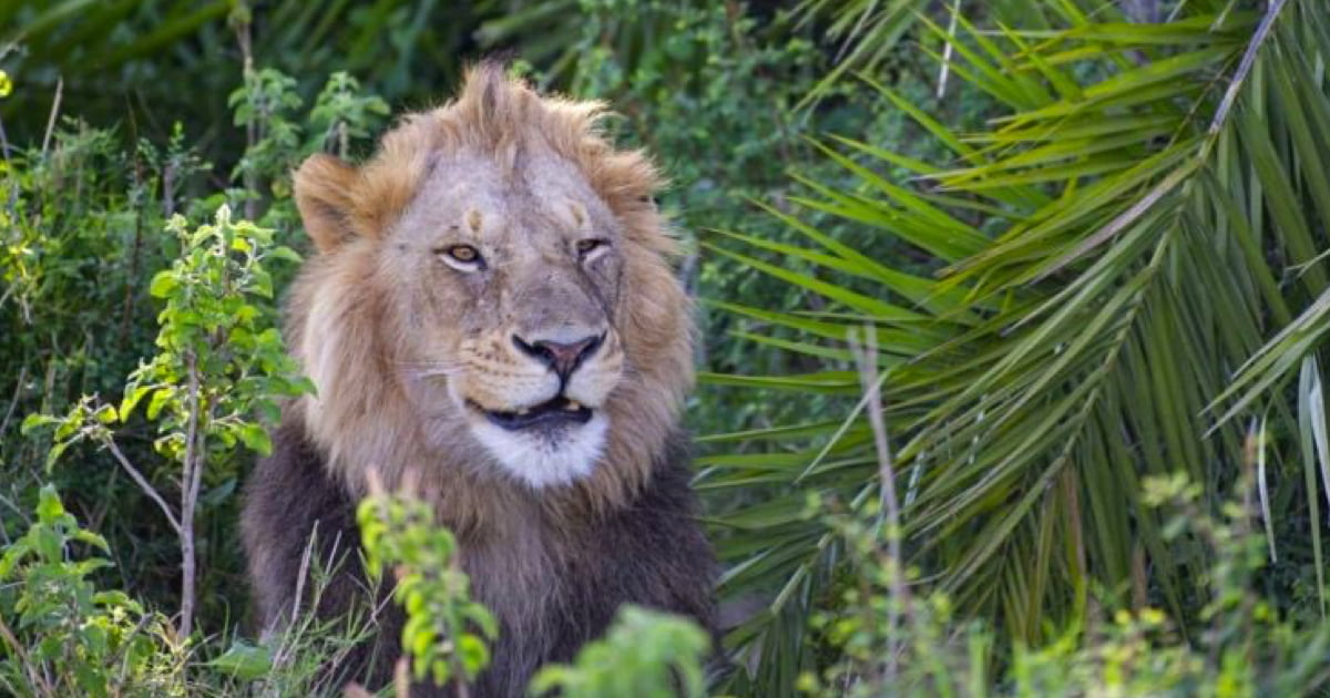 Playful Lion Terrifies Photographer With Loud Roar, Then Winks At Him