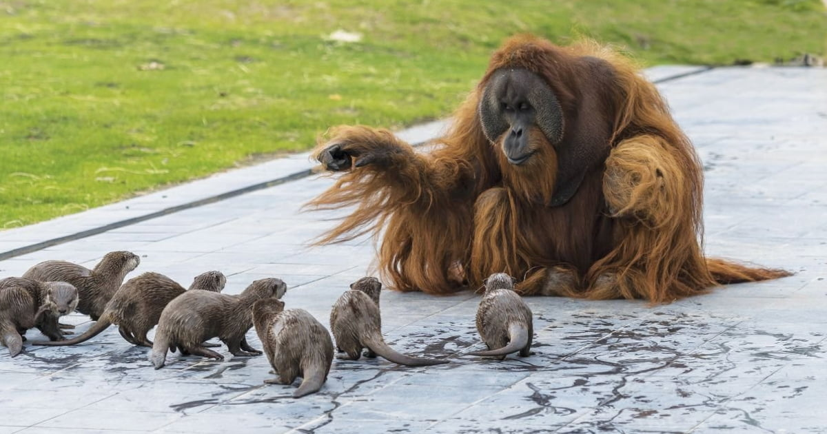 Belgium Zoo Shares Adorable Photos Of Orangutans Playing With Otters