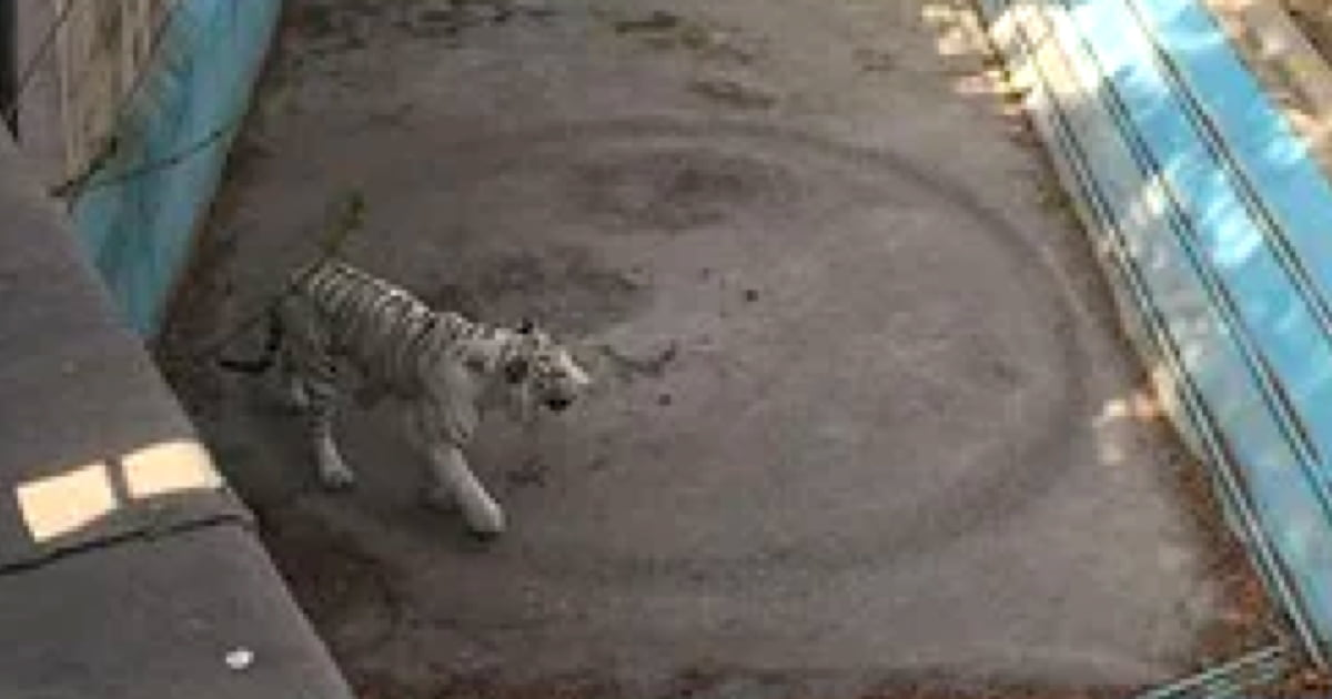 Heartbreaking Video Shows Tiger Walks In Endless Circles At Beijing Zoo 9gag