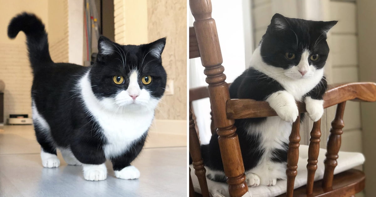 Meet Manchester, A Mixed Breed Cat With Extremely Short Legs