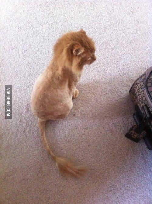 That's my cat's new haircut
