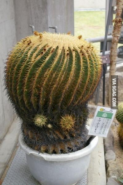 Alien Head Cactus