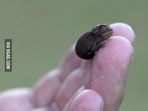 A baby chameleon