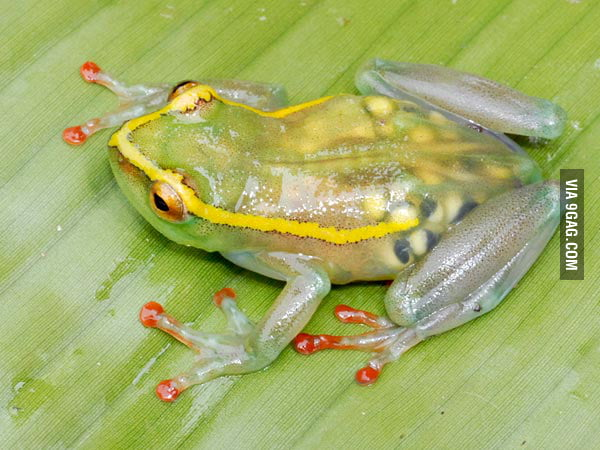 Just a transparent pregnant frog