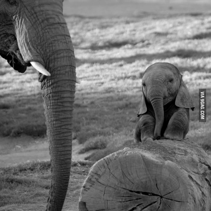 "Baby elephant asks, ""Mum, can we fly by flapping our ears?"""