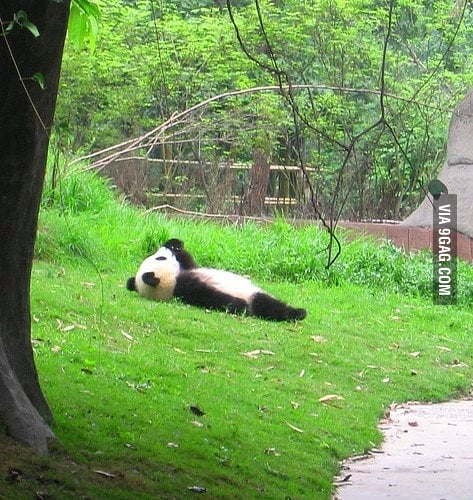 Just a panda watching the clouds